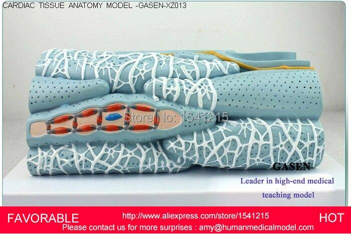 Muscle Fiber Model Promotion-Shop for Promotional Muscle ...