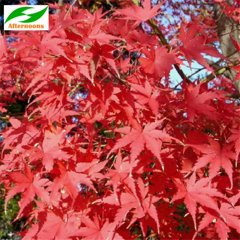 50pcs Red Maple Seeds Acer Rubrum Canadian October Glory Autumn