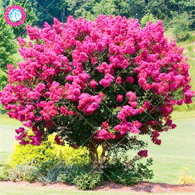 Online shop 100pcs crape myrtle lagerstroemia indica natchez online shop 100pcs crape myrtle lagerstroemia indica natchez perennial flower plant courtyard myrtle tree plant for home garden planting aliexpress mightylinksfo