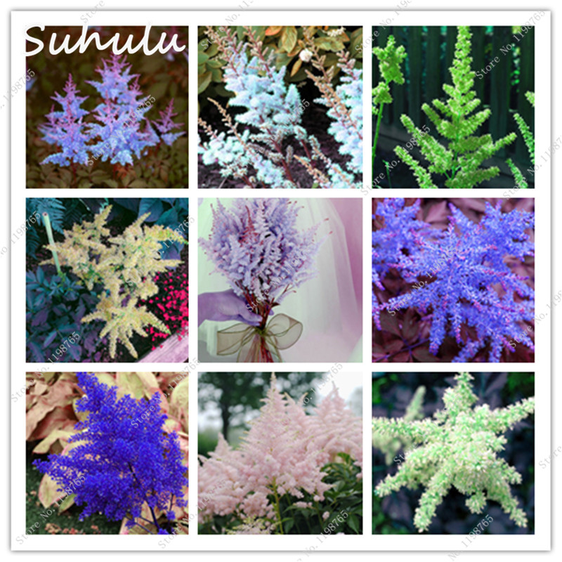 Astilbe seeds 100 Pcs Astilbe Chinensis Pumila bonsai Beautiful Flower seeds Perennial potted Plants for home garden decoration