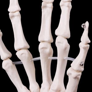 Image 4 - Medical props model Free postage Hand Joint Anatomical Skeleton Model Human Medical Anatomy Study Tool Life Size