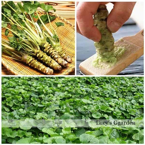 Free shipping 100pcs wasabi seeds, DIY home garden Vegetable seeds Japanese horseradish seed