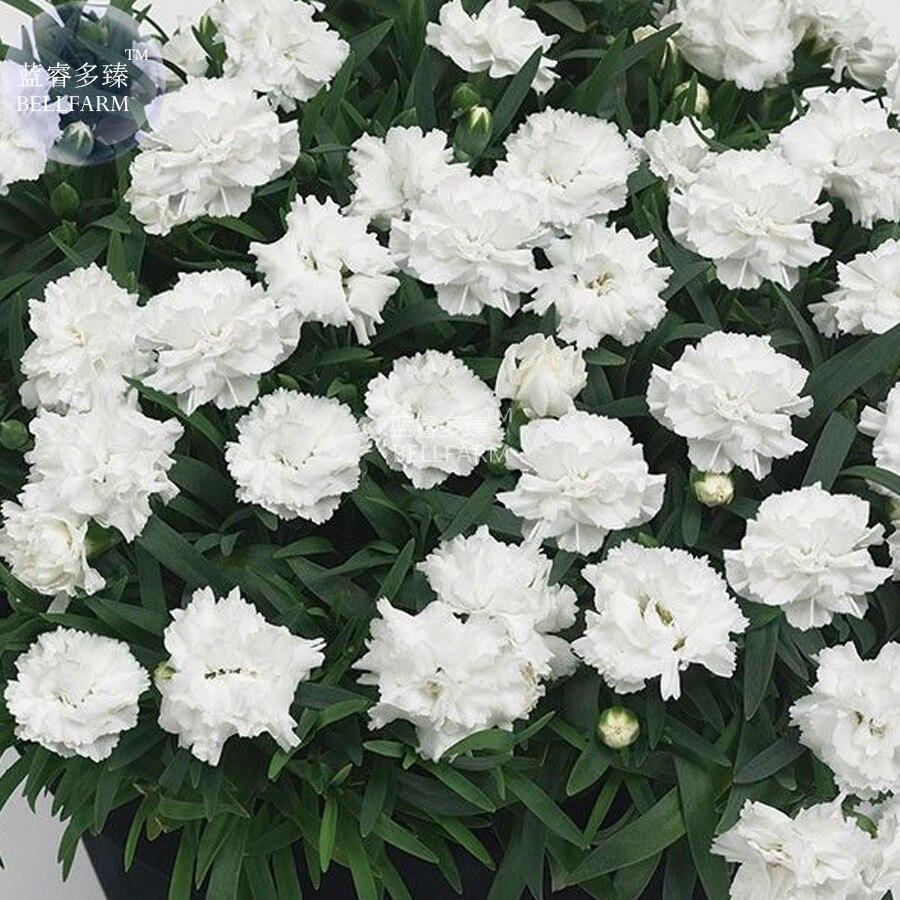 oeillet blanc-achetez des lots à petit prix oeillet blanc en