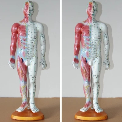 55CM Male Person With Acupuncture Anatomical Model Of Human Muscle Model Of Human Acupuncture Points Model