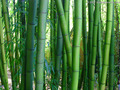 50 semillas De Bambú Moso unids/bolsa. heterocycla Phyllostachys Pubescens Gigante Moso Bambú Semillas para el Jardín de DIY Planta