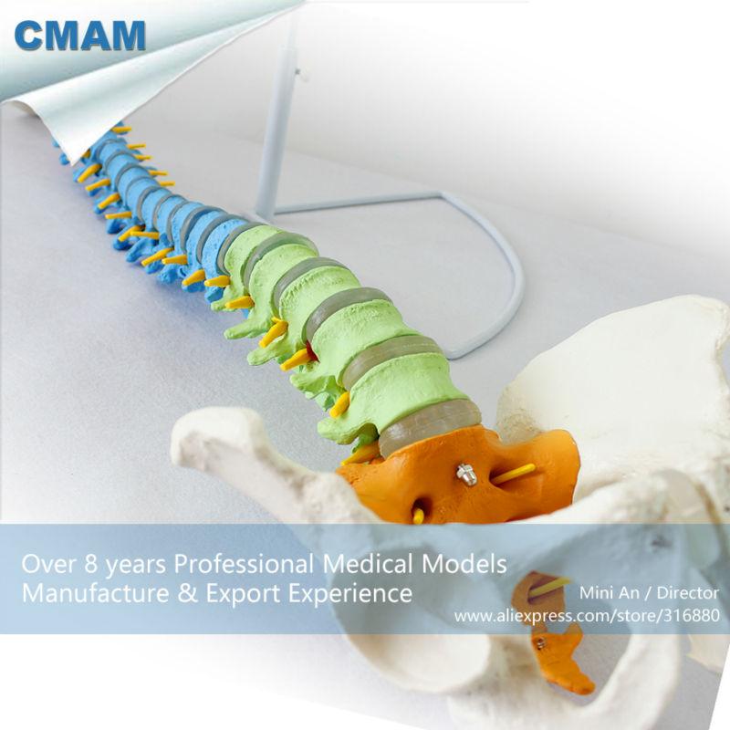 12373 CMAM-SPINE02 Human Full Size Color Didactic Spine Model, Spine/Vertebrae Models spine smart 457 2 40