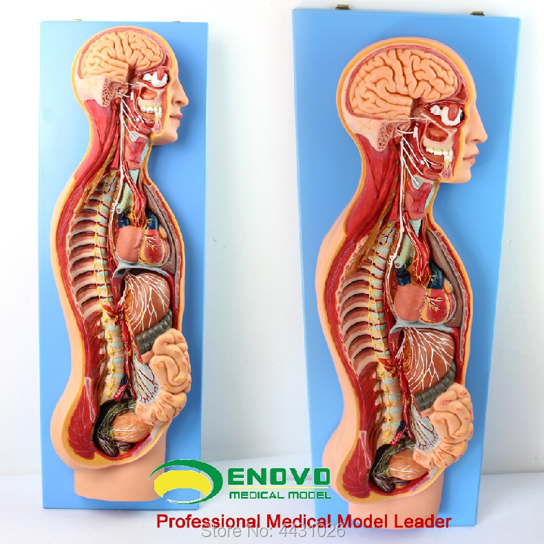 ENOVO The anatomy of autonomic nervous system in human medical sympathetic system model