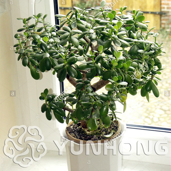 20 Stucke Bonsai Crassula Ovata Bonsai Baum Bonsai Seltene