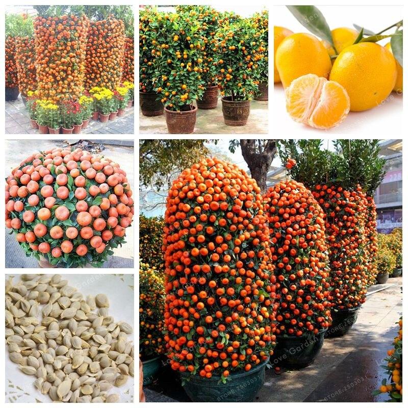 30 Pcs Citrus Reticulata Orange Seeds Dwarf Bonsai Mandarin Orange Seeds Edible Sweet Citrus Fruit Tree For Home Garden