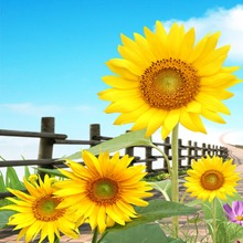 HOME DECOR High Precision  wall printing Set of 3 village yellow sunflower Stretched canvas print Ready to Hang