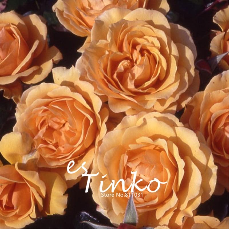 100 шт. редкие семена розы Роза amber королева цветок Карликовые деревья Семена многолетних балкон растение в горшке цветок Главная Сад
