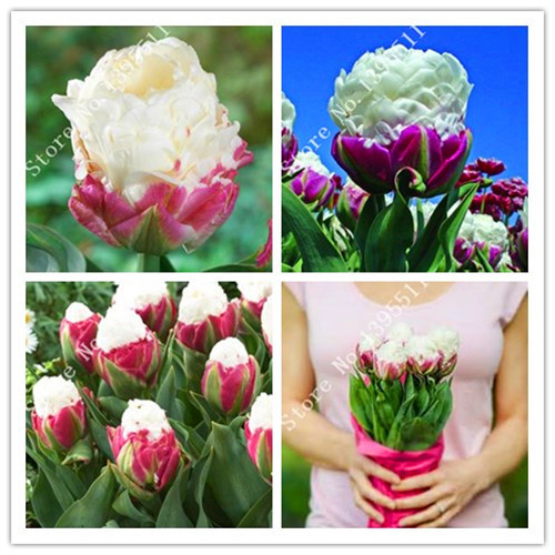 10/bag Tulip seeds ,rare Ice Cream. tulip Flower seeds For Home Garden.Bonsai Plants for Decoration