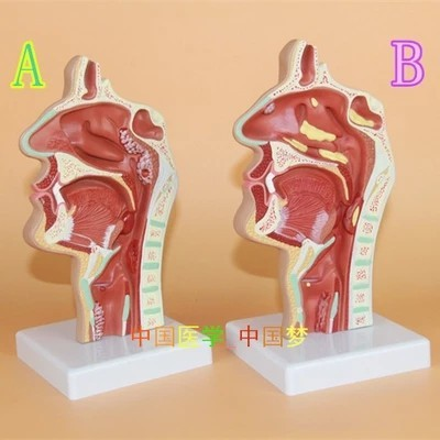 Nasal And Throat Anatomy Of Human Mouth And Nose Ent Medical