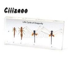 Ciclo de Vida de la colección de taxidermia, espécimen de libélula pisapapeles integrado en bloque de Lucite transparente, espécimen de incrustación