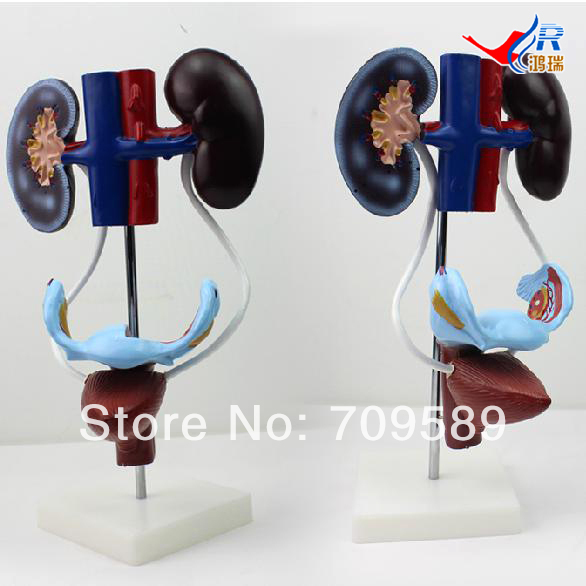 ISO Anatomical Model of Urinary system, Female Urogenital System Model тетрадь на пружине printio scott pilgrim