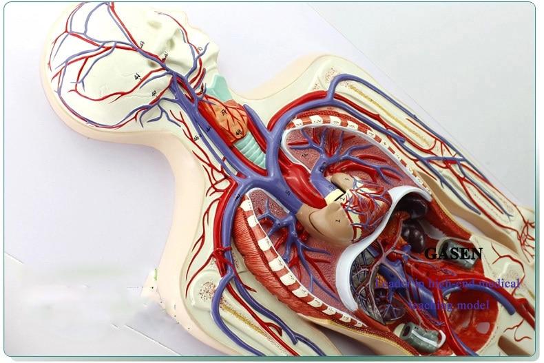 Model Of The Human Circulatory System And Pulmonary Circulation