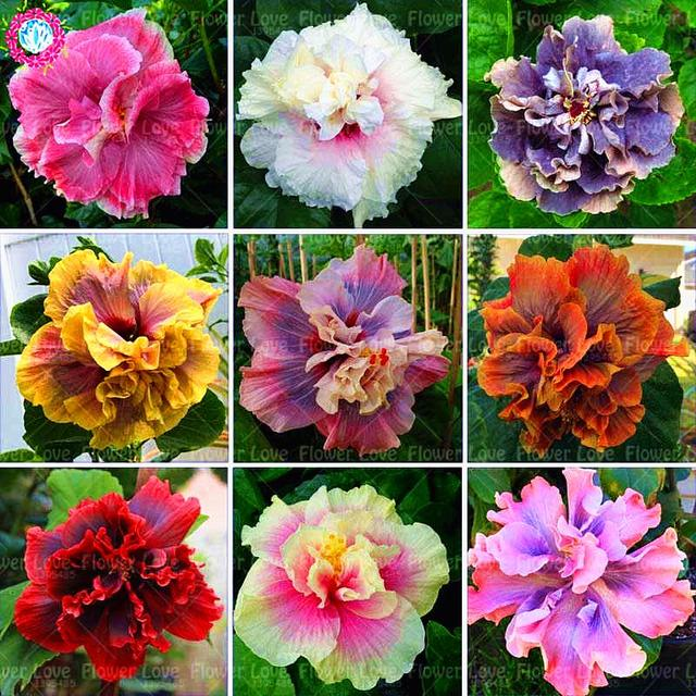 100pcs rare yellow double petals giant hibiscus plant chinese bonsai 100pcs rare yellow double petals giant hibiscus plant chinese bonsai flower plant perennial garden flower plants mightylinksfo