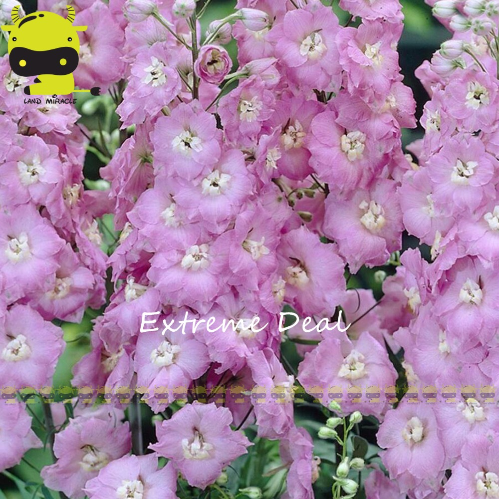 Land Miracle Guinevere Larkspur Peach Flower Pink Delphinium Seeds