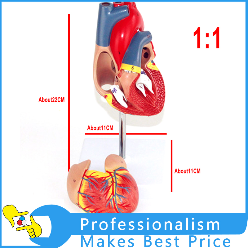 1: 1  Heart Model B Ultrasound Color Ultrasound Cardiac Medicine Heart Anatomy Teaching Model heart anatomy viscera medical model model of cardiac cardiac anatomy cardiovascular model of human heart model gasen rzjp009
