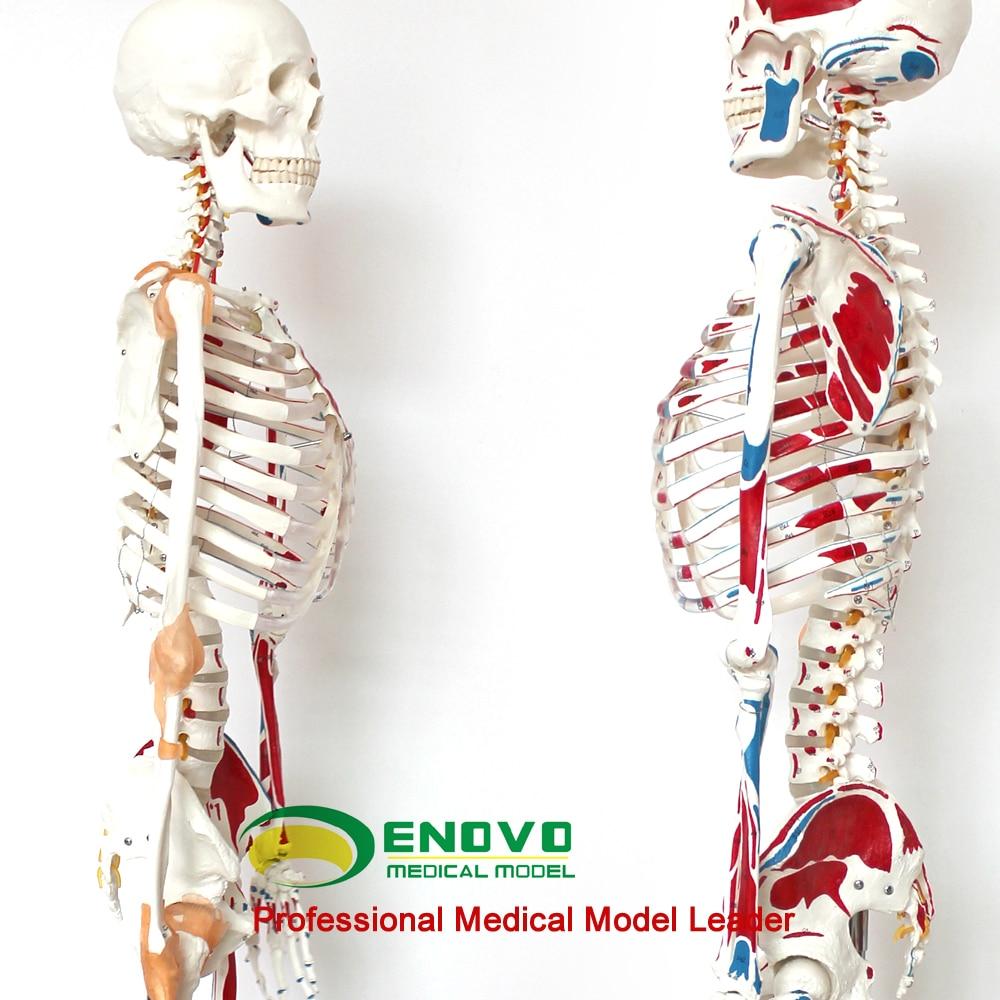 Medizinische 170 CM menschliches skelett modell muscle skeleton ...