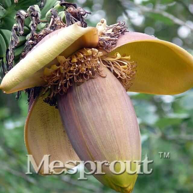 qu'est ce Martin du 21 Août trouvé par Ajonc 100-PCS-Musa-Basjoo-Arbre-Graines-Fruits-Graines-Exotiques-Rares-Bonsa-banane-En-Pot-Plante-Cadeau.jpg_640x640