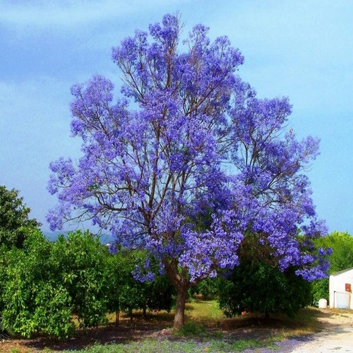 Well known 2018 new seeds Blue Jacaranda Tree, Bonsai Tree, Seeds, Grow Your  AQ56