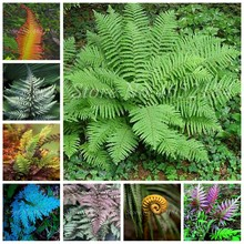 100 pcs/ bag Garden Fern Bonsai Rare Creeper Vines Grass Plants Mixed Rainbow Foliage Planting For home Garden Flower Pot Decor(China)