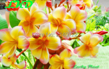 Plumeria rubra Plants Rooted 7-15 inch Frangipani Flower Daisy Bonsai Tree Plumeria Plants no175-morning-star-hybrid
