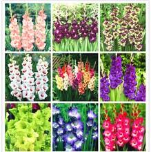 Многолетние Gladiolus цветок карликовые деревья редкий Бонсай завод для 95% прорастание DIY домашний сад украшения 100 шт./пакет горшечных растений