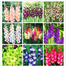 Perennial Gladiolus Flower Bonsai Rare Bonsai Plant For 95 Germination DIY Home Garden Decoration 100 Pcs