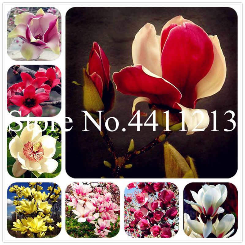 10 ピース盆栽モクレン植物モクレンの木の植物美しい花植物屋内または Ourdoor 鉢植え Diy 家庭菜園