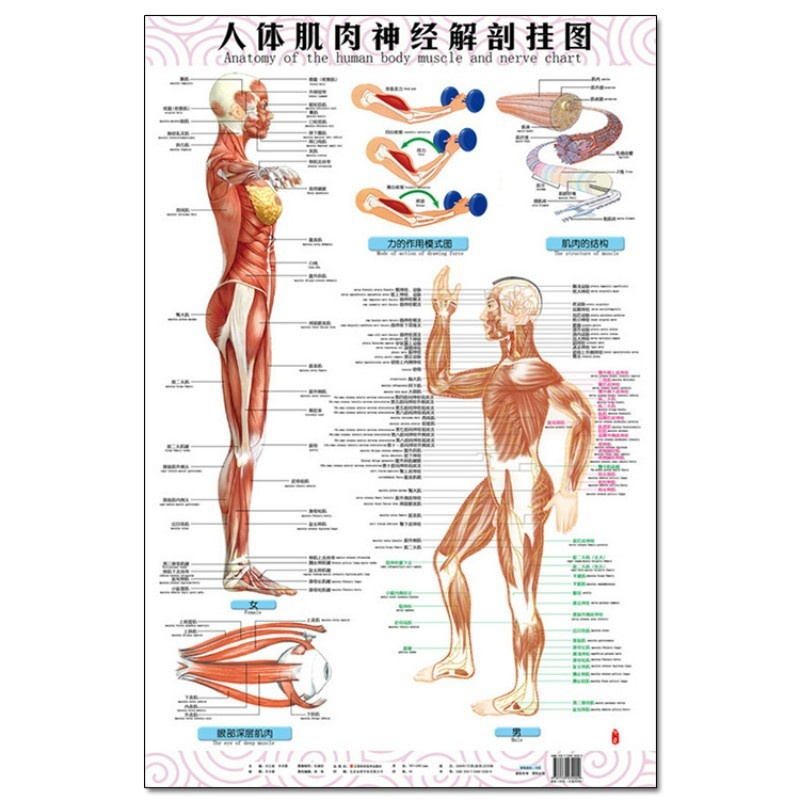 Anatomy Of The Human Body Muscle And Nerve Charts 3pcs Front Side