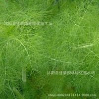 Herb plant small arms fragrant fennel bonsai collected plant stubble wire dish fragrant fennel bonsai 200g / Pack