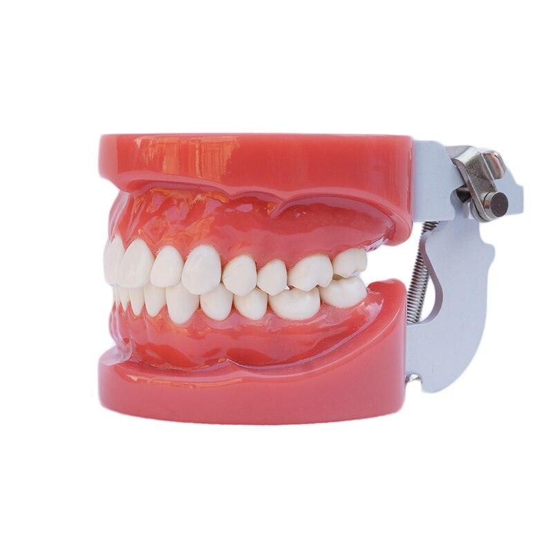 1PC Standard Study Model Hard Gum wax fixed model dental tooth model teaching tool art tools education model dental model of sf teaching model teaching model tooth model 32 screws fixed jaw frame