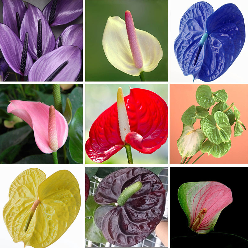 free ship 20 Rare Flower Seeds Anthurium Andraeanu Seeds Balcony Potted Plant Anthurium Flower Seeds for DIY Home Garden