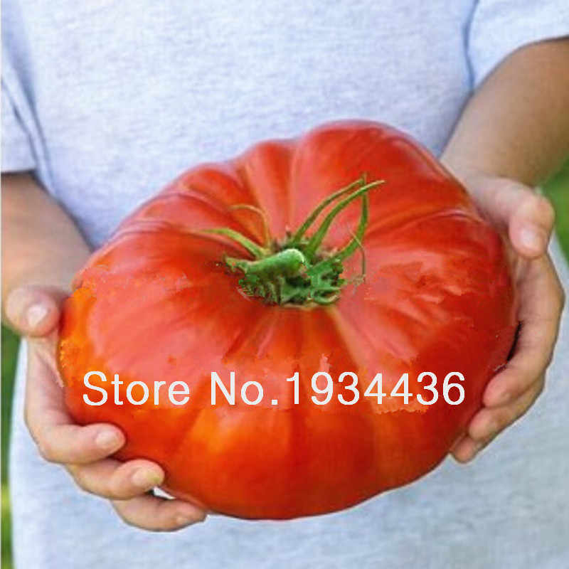 10 nutritious Watermelon Beefsteak Tomato Plant , huge , rich flavor ,easy growing The world's largest beefsteak