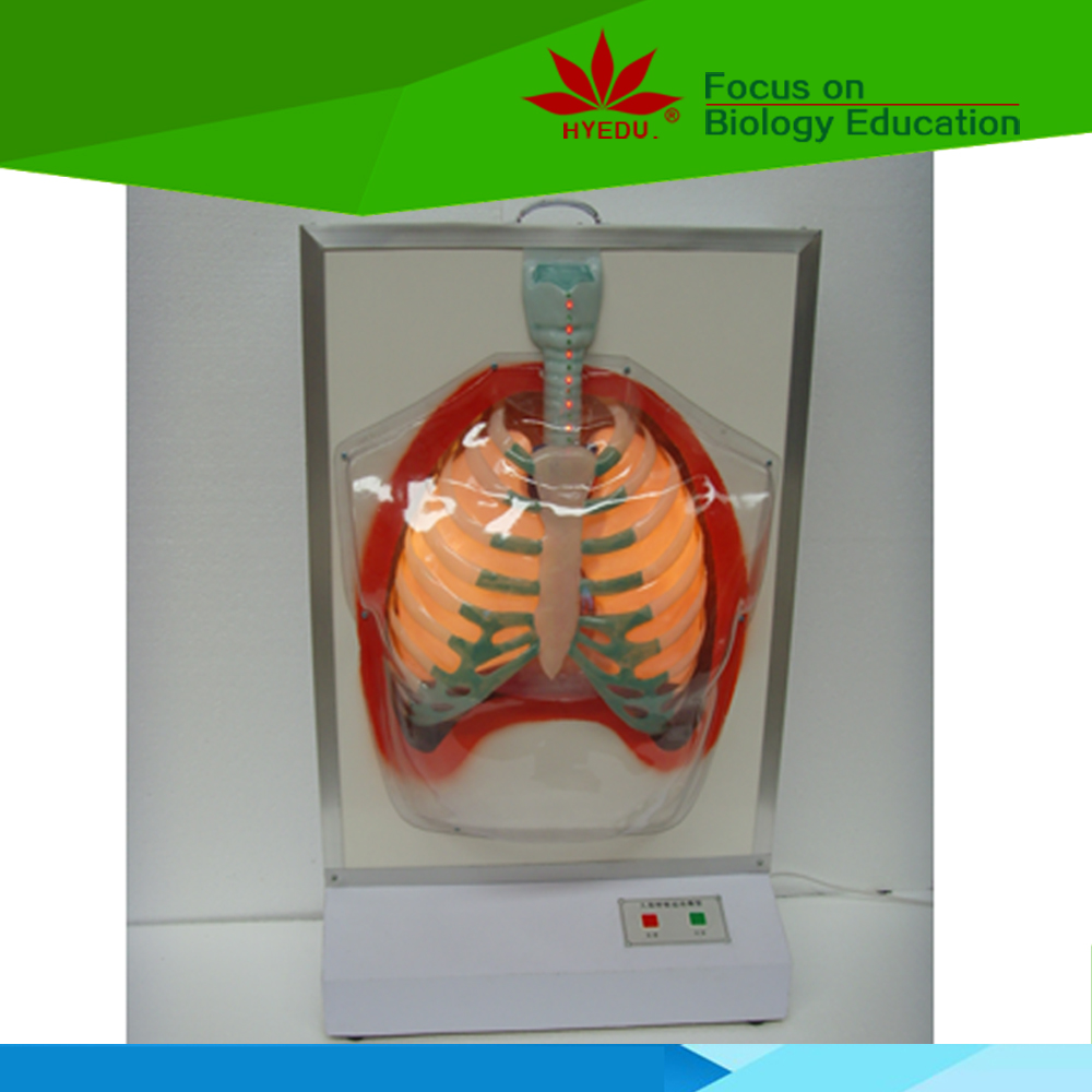 Medical teaching supplies Anatomy biological Electric human respiratory system model