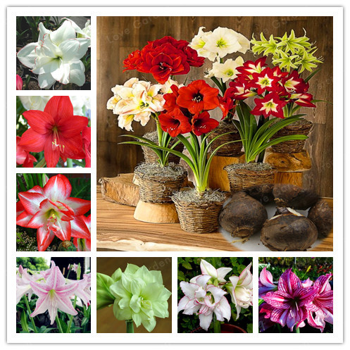 2 Bulbs Amaryllis Bulbs True Hippeastrum Bulbs Flowers,Barbados Lily Potted Home Garden Balcony Plant Bulbous