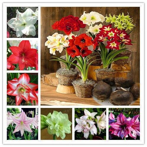 2 bombillas de Amaryllis bombillas auténticas bombillas de Hippeastrum flores, flores de lirio en macetas para el hogar jardín planta de balcón bulboso