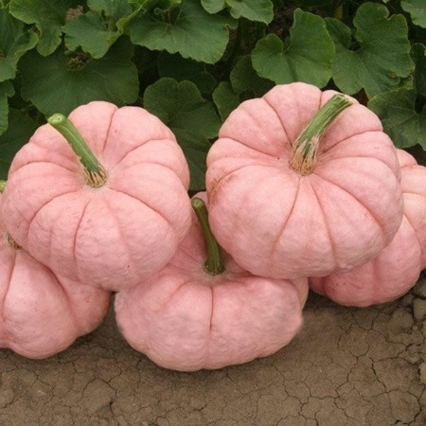 10PCS Pink Pumpkin Seeds Rare Popular & Cute Color No GMO