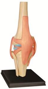 Image 2 - Modelo 4D Master de rodilla humana, modelo de Anatomía de órganos humanos, enseñanza médica, ciencia artesanal