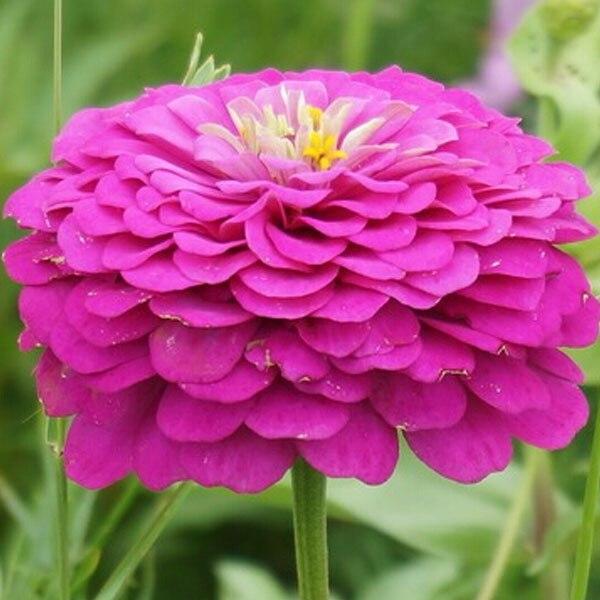 Violet zinnia achetez des lots petit prix violet zinnia for Planter oignon amaryllis
