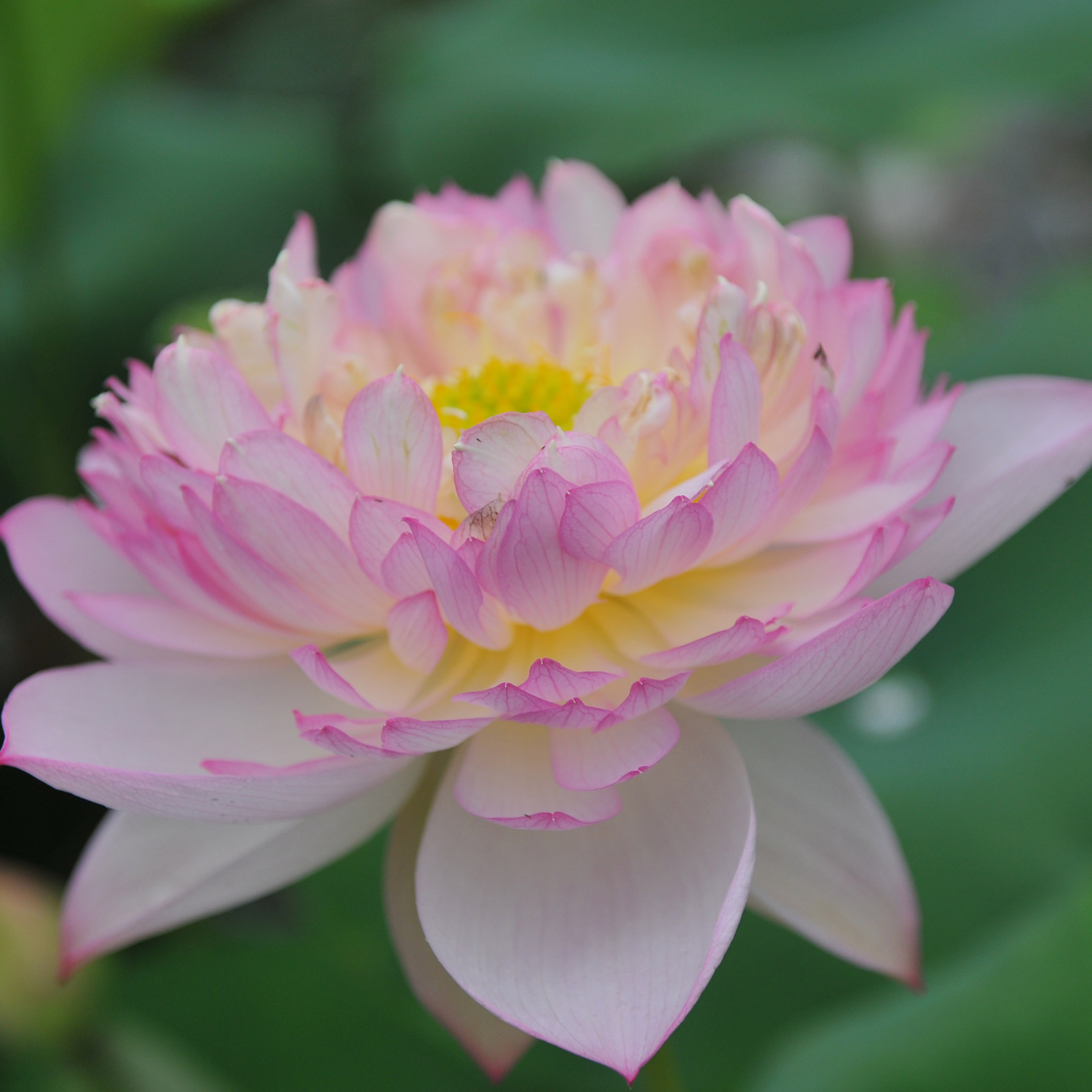 2014 rushed hot sale freeshipping potted lotus spring bowl for Lotus plant for sale