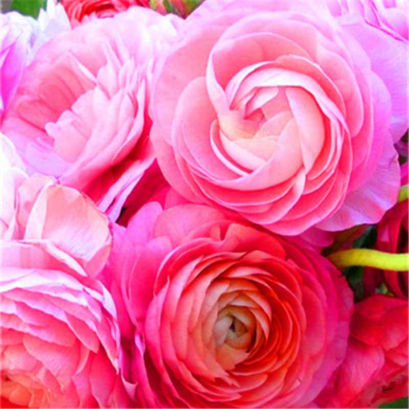 20 ピース盆栽ラナンキュラスの花ダブルフラップラナンキュラス Asiaticus ガーデン多年生屋内ハーブキンポウゲ植物 (真央梁華)