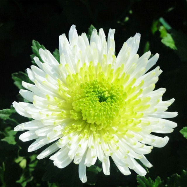 120pcs bicolor green white chrysanthemum flower plant seeds diy home 120pcs bicolor green white chrysanthemum flower plant seeds diy home garden perennial potted bonsai plants mightylinksfo