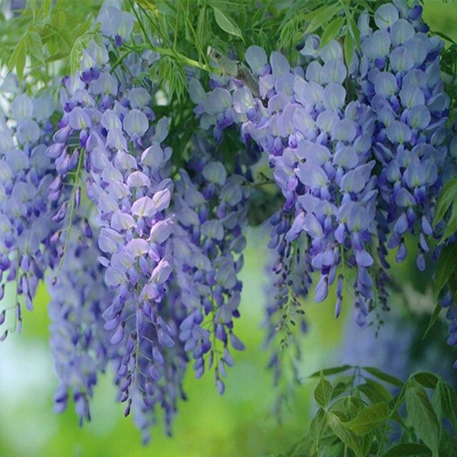 10 PZ Floribunda Glicine Albero Vite Pianta Vaso Di Fiori Piantare Bonsai  Giardino Domestico Di DIY