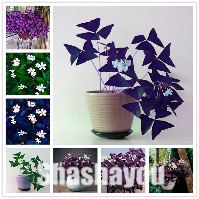 Oxalis Wood Sorrel Flower Oxalis Purple Shamrock Clover 100% Real Flower Bonsai Plant Perennial Outdoor For Home Garden 100 Pcs