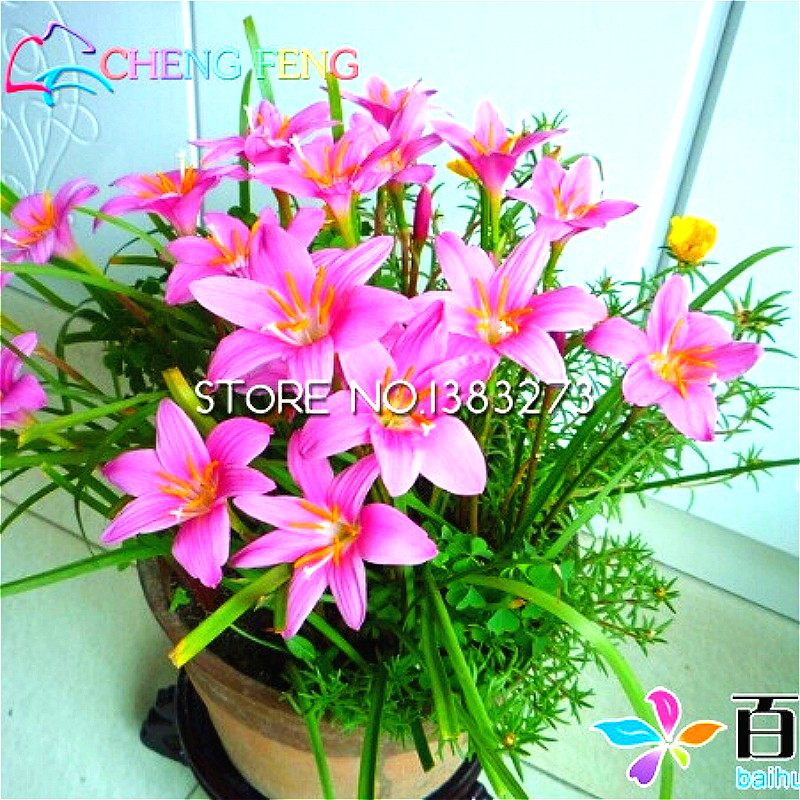 30pcs pink rain lily plants pretty flowers bonsai rare mini flores 30pcs pink rain lily plants pretty flowers bonsai rare mini flores grass garden plants japan planter pot indoor outdoor bonsai in bonsai from home mightylinksfo