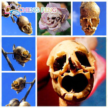 The Death Rose Seeds Rare And Mysterious Plant Species Of Snapdragon Flower Seed Pods Skull 50pcs Peas France Hot free shipping