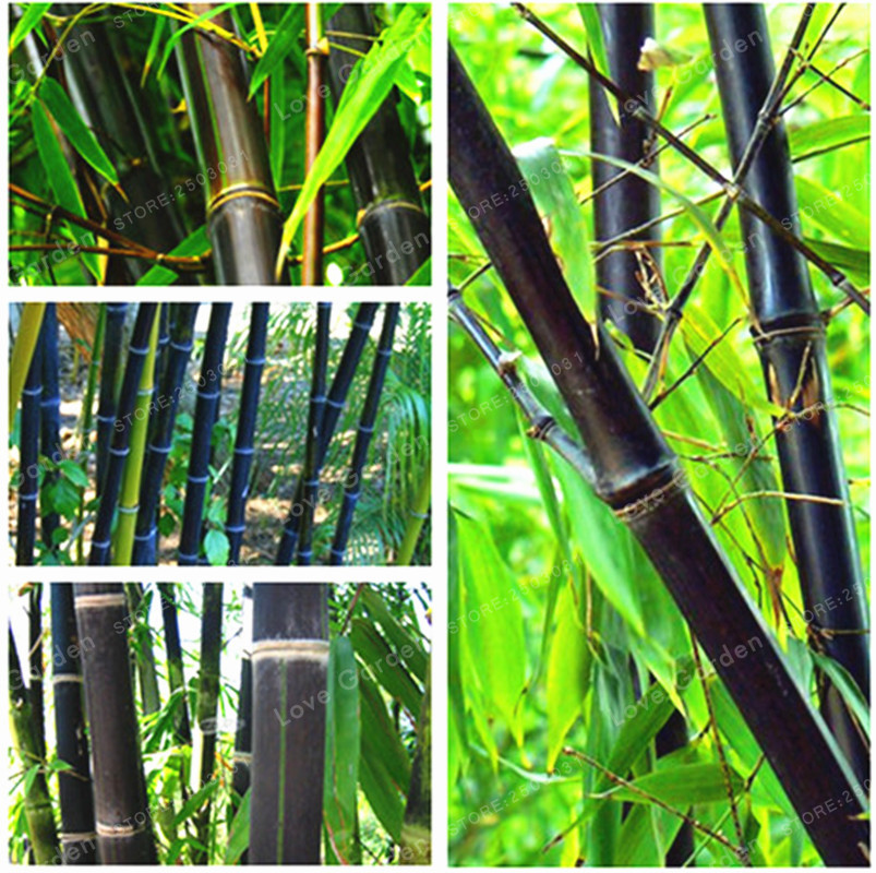 Us 0 43 49 Off 50 Pcs Black Bamboo Potted Plant Phyllostachys Nigra Bonsai Home Garden Flower Pot Planters Easy To Grow Flower Garden Plant On